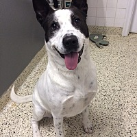 Adopt A Pet :: Polly - St. Louis, MO
