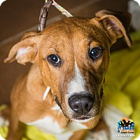 Hound (Unknown Type)/Boxer Mix Puppy for adoption in Evansville, Indiana - Mickey