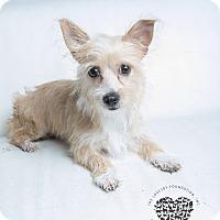 Adopt A Pet :: Bella Bea - Inglewood, CA