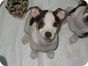 Rat Terrier Puppy for adoption in of, Wisconsin - Peppermint