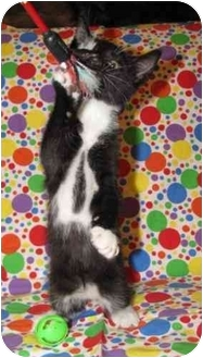 Domestic Shorthair Kitten for adoption in Orlando, Florida - Mowgli