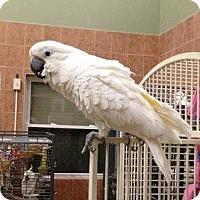 Cockatoo for adoption in Northbrook, Illinois - Lola