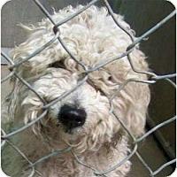 Adopt A Pet :: Everly - NO SHED - Phoenix, AZ