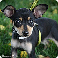 Adopt A Pet :: Sicily - Broomfield, CO