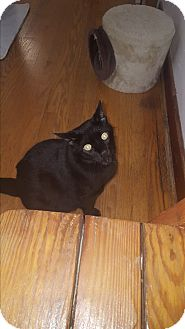Domestic Mediumhair Cat for adoption in Salem, Ohio - Chopper