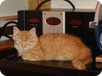 Domestic Mediumhair Kitten for adoption in Alamo, California - Sherbet