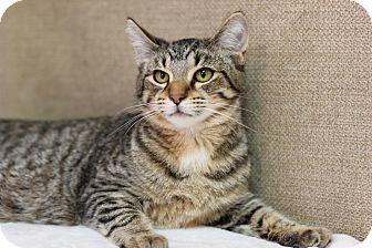 Domestic Shorthair Kitten for adoption in Midland, Michigan - Tiger Dog