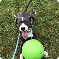 Adopt A Pet :: Gearheart - Troy, MI