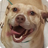 Staffordshire Bull Terrier Mix Dog for adoption in Las Vegas, Nevada - ChaCha
