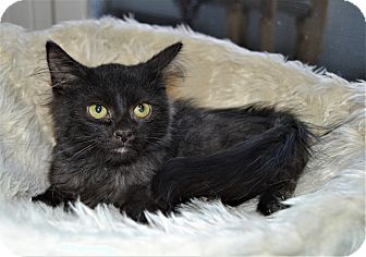 Domestic Longhair Kitten for adoption in Michigan City, Indiana - Heidi