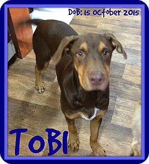 Doberman Pinscher Mix Dog for adoption in Jersey City, New Jersey - TOBI