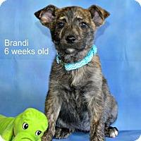 Adopt A Pet :: Brandi - Yreka, CA