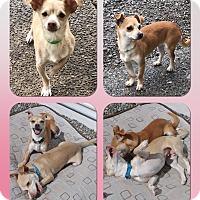 Adopt A Pet :: Lexi & Lulu - Auburn, WA