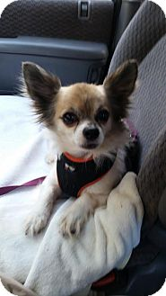 Papillon Mix Dog for adoption in Silver Spring, Maryland - Sunny