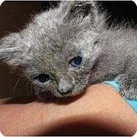 Adopt A Pet :: Baby Kitty - Miami, FL