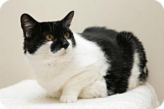 Domestic Shorthair Cat for adoption in Bellingham, Washington - Luella