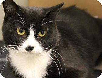 Domestic Shorthair Cat for adoption in Greensboro, North Carolina - Hillary