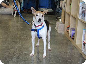 Jack Russell Terrier Mix Dog for adoption in Humble, Texas - Elliott