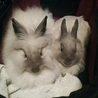 Lionhead Mix for adoption in Williston, Florida - King Tutt and Alexandria