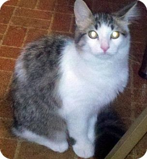 Domestic Longhair Cat for adoption in Troy, Michigan - Muffin