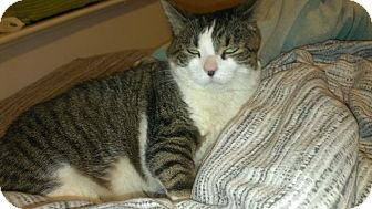 Domestic Mediumhair Cat for adoption in Woodstock, Ontario - Mixxy