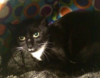 Domestic Shorthair Cat for adoption in Lunenburg, Massachusetts - Jiffy