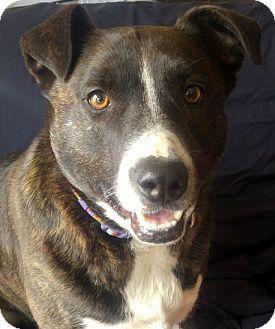 Pit Bull Terrier/Labrador Retriever Mix Dog for adoption in Cuba, New York - Jenna Princeton