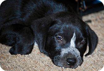 Labrador Retriever Mix Puppy for adoption in Portsmouth, New Hampshire - Rio-ADOPTION PENDING