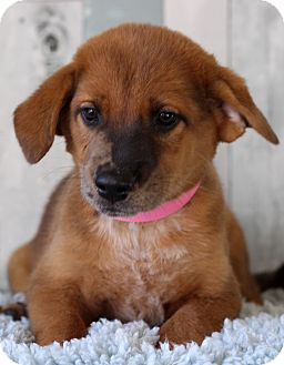 Shepherd (Unknown Type)/Labrador Retriever Mix Puppy for adoption in Waldorf, Maryland - Olive