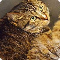 Domestic Shorthair Cat for adoption in Lincoln, Nebraska - Mitt
