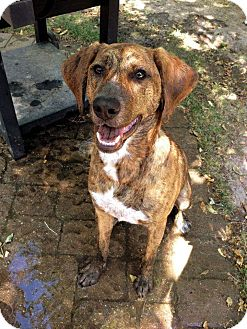 Coonhound (Unknown Type)/Mountain Cur Mix Dog for adoption in West Allis, Wisconsin - Memphis **Courtesy Cupid**