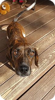 Dachshund/Beagle Mix Dog for adoption in Florence, Kentucky - Autumn
