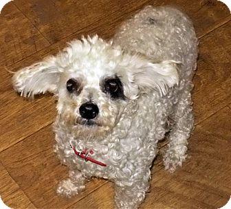 Poodle (Miniature) Mix Dog for adoption in Toronto, Ontario - Rocky