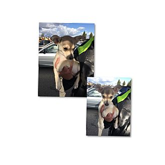 Chihuahua Mix Puppy for adoption in South San Francisco, California - Maui