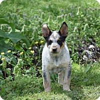 Adopt A Pet :: Leta - Groton, MA