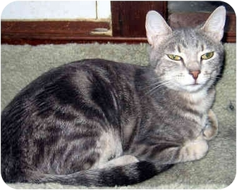 Domestic Shorthair Cat for adoption in Ardsley, New York - Soups