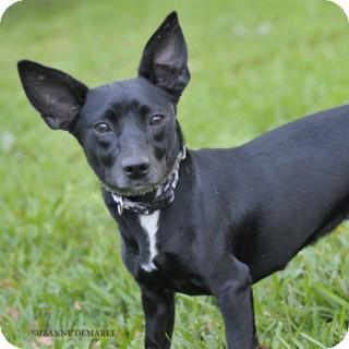 Chihuahua/Dachshund Mix Dog for adoption in Norwalk, Connecticut - Dakota - adoption pending