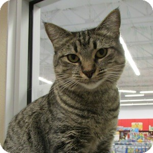 Domestic Shorthair Cat for adoption in Gilbert, Arizona - Linda