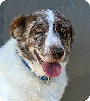 Australian Shepherd Dog for adoption in white settlment, Texas - Sydney