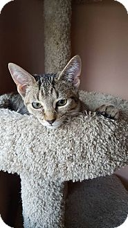 Domestic Shorthair Cat for adoption in Hazel Park, Michigan - Mack