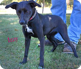 Feist/Labrador Retriever Mix Dog for adoption in Beacon, New York - Izzy