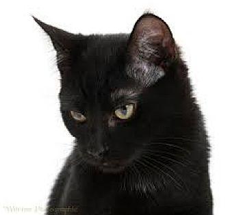 Domestic Shorthair Cat for adoption in Flint, Michigan - Jake