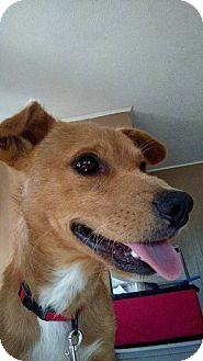 Dachshund/Chihuahua Mix Dog for adoption in Providence, Rhode Island - Brody