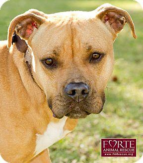 Boxer/Labrador Retriever Mix Dog for adoption in Marina del Rey, California - Katie