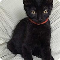 Adopt A Pet :: Captain Midnight - Modesto, CA