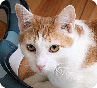 Domestic Shorthair Cat for adoption in Morganton, North Carolina - Teddy