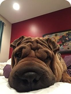 Shar Pei Dog for adoption in Gainesville, Florida - Boudreaux