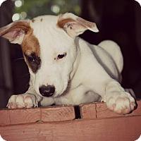 Adopt A Pet :: Laurie - Fredericksburg, VA