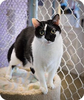 Domestic Shorthair Cat for adoption in Freeport, New York - Boo