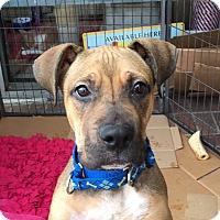 Adopt A Pet :: Zeus - Santa Monica, CA